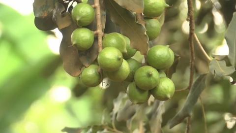 "Kenyan farmers profit off  ""green gold"""