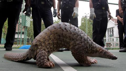 Illegal pangolin trade forces Ghana to look at new wildlife laws