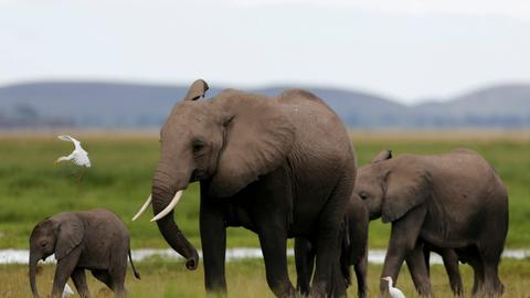 Trump reverses ban on bringing elephant trophies to US from Africa